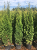 Thuja occidentalis smaragd 150-170 cm