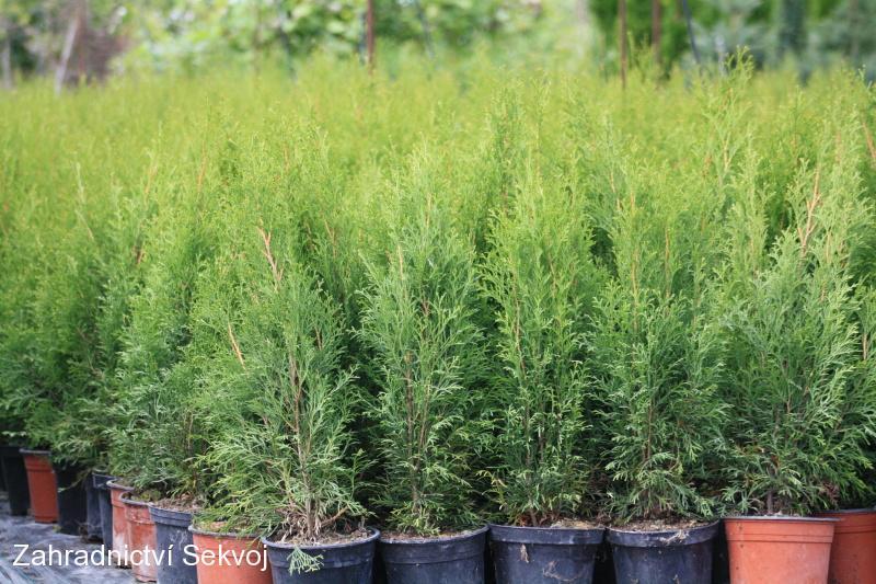 Thuja occidentalis smaragd 60 70 cm 2l