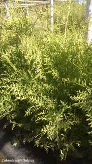 Thuja occidentalis Brabant 60-80cm/2L