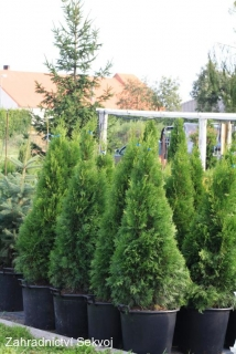 Thuja occidentalis smaragd 130 cm