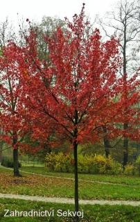 Červený javor