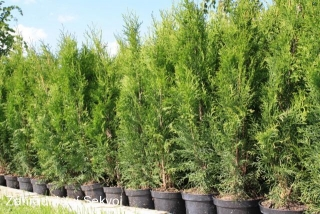 Thuja occidentalis smaragd 80-100cm/5L